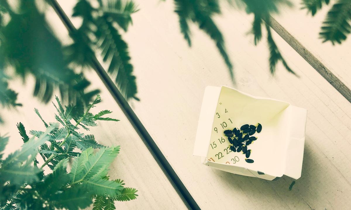 【ロバの収穫祭】ミモザの種・枇杷の実が採れた【裏庭で】